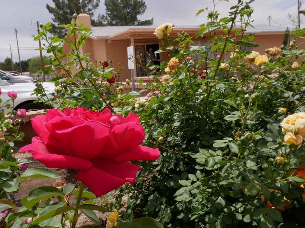 Sunday-Roses